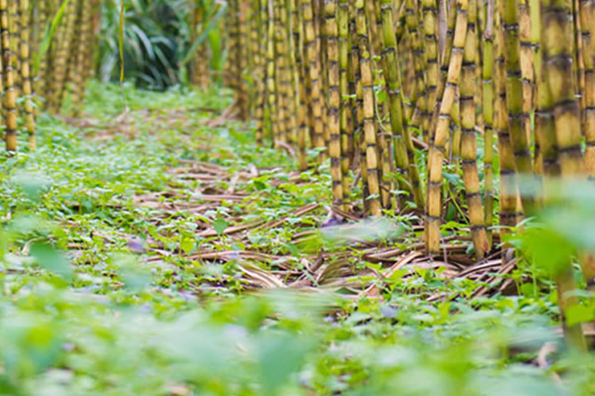 Sugar cane harvest in Brazil