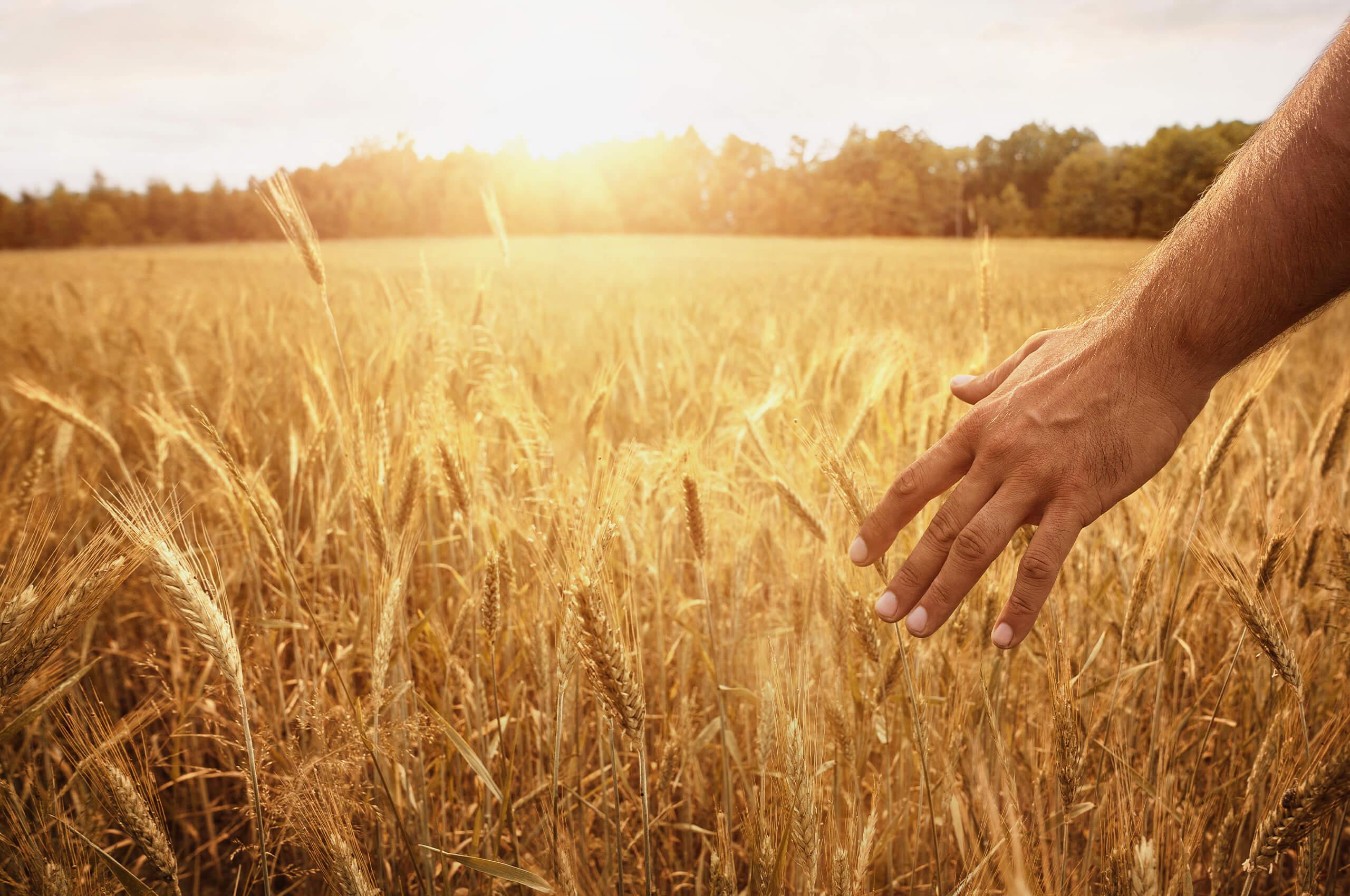 Getreide fühlen